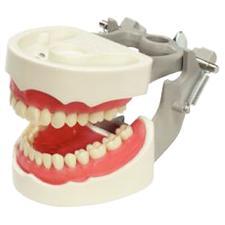 Dentoform® Exam Model – M-PVR-1560, 1/Pkg